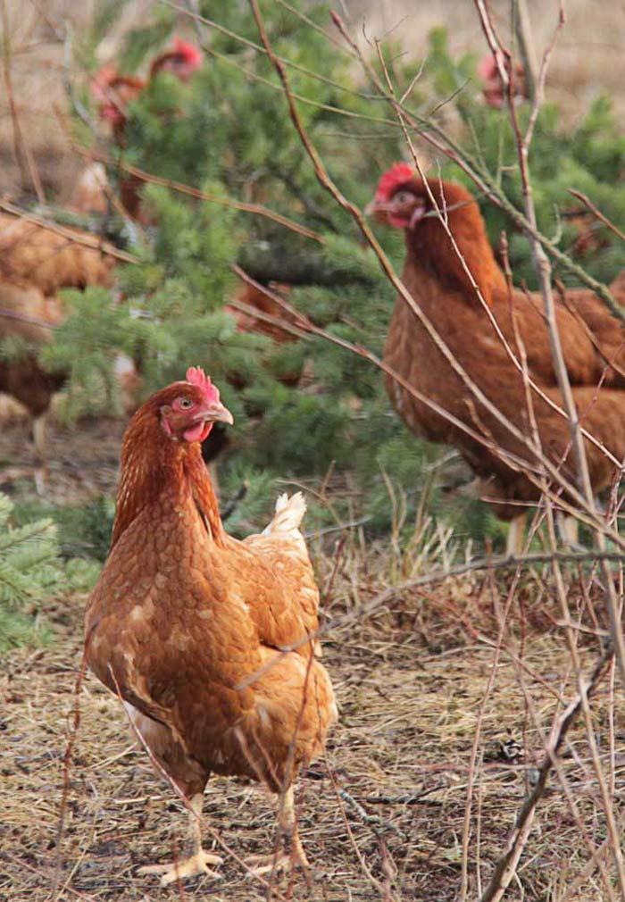 chickens-700