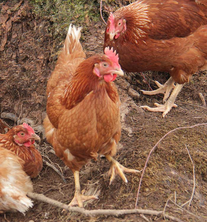 chickens2-700