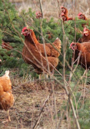 chickens-593